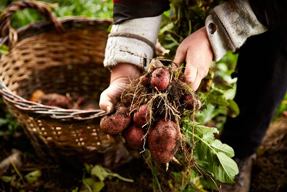 Frisch geerntete Kartoffeln aus dem Garten